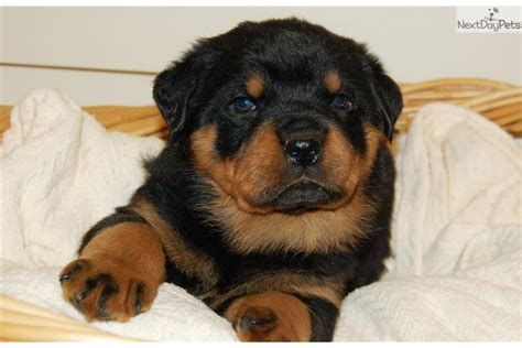 puppy rottweiler for sale near me rottweiler puppy for sale near harrisburg pennsylvania 6e72fff2 8b21