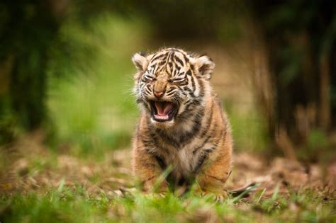 wallpaper 4k tiger cute cub hd animals 4k wallpapers images backgrounds