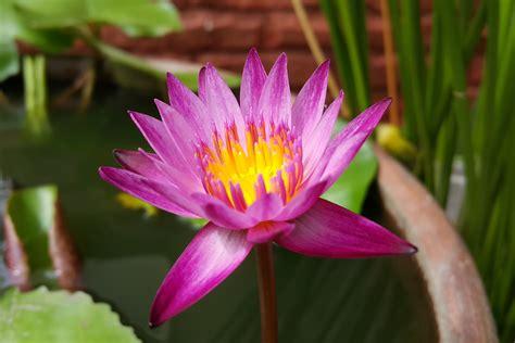 fiore ninfea immagini acqua fiorire fiore petalo botanica