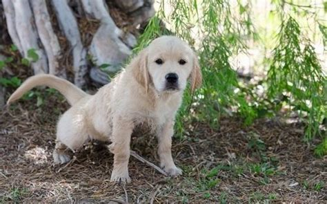 puppy pees a lot puppy a lot should you be worried thehappypooch