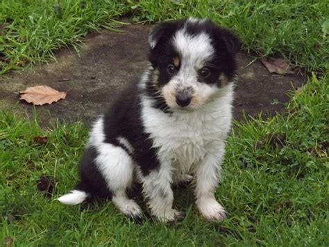 ohio sheltie puppies for sale 250 border collie puppies pictures information breeds picture