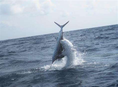 jaws dragon boat shark eats marlin montana hunting and fishing