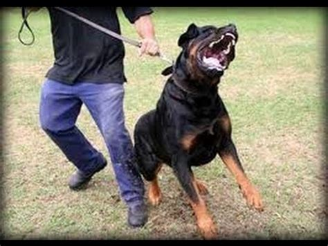 how to your rottweiler to attack on command how to your to sit in funnydog tv