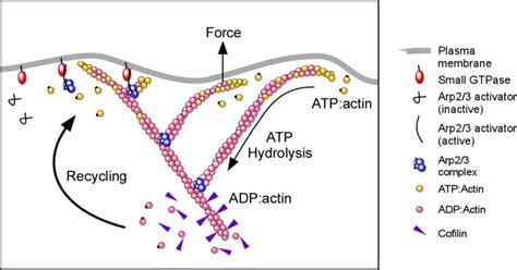 protein f aktin cells migrate for a large number of reasons for e