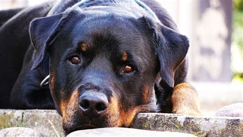 supplements for rottweilers rottweiler news stories pictures products rottweilers home