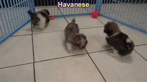 havanese chicago havanese puppies dogs for sale in chicago illinois il 19breeders rockford