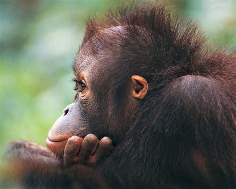 funny monkey  amo images amo images