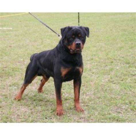 rottweiler puppies in arkansas blue line rottweilers rottweiler stud in benton arkansas listing id 21630