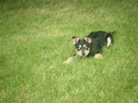 rottsky puppies great rottsky puppies breeds picture