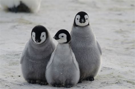 Pinguin White by 20 Black And White Facts About Penguins Mental Floss