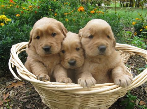 how much do purebred golden retrievers cost purebred golden retriever pups for sale dogs in our photo