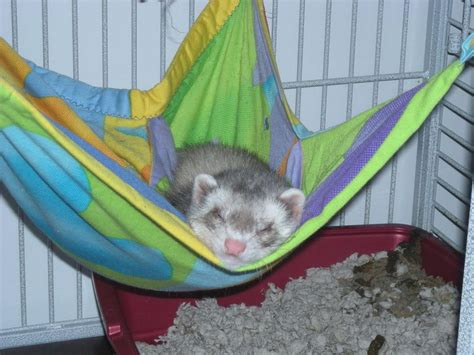 Ferret In Hammock ferret sleeping in hammock ferrets photo 13819076 fanpop
