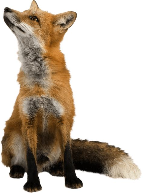 fox looking fox looking up transparent png stickpng