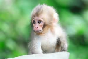 monkey wallpaper cute monkey wallpapers wallpaper cave