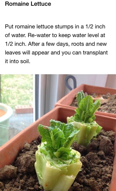 vegetables u can regrow 8 vegetables that you can regrow again and again musely