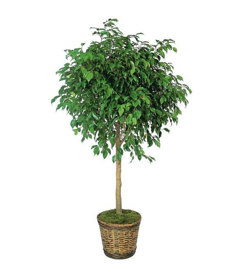 Where To Put Plants In House ficus tree tf136 4 97 16