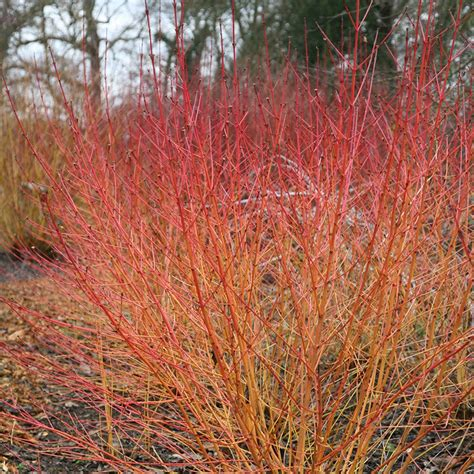 Garden Awnings And Canopies Buy Dogwood Cornus Sanguinea Midwinter Fire Delivery By