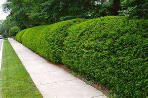 beautifully trimmed natural shrub fence fantastic fences pinterest trees cleanses and shrubs
