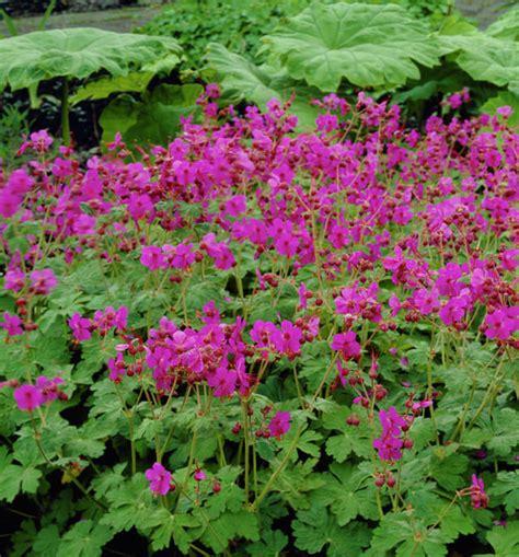 Vertical Garden Planters Diy - picture of bigroot geranium geranium macrorrhizum
