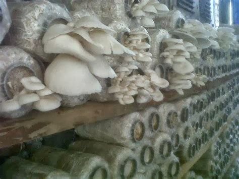 budidaya jamur tiram  tepat bagi pemula