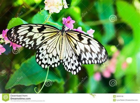 imagenes de mariposas negras y blancas mariposa blanca y negra de nimph en las flores