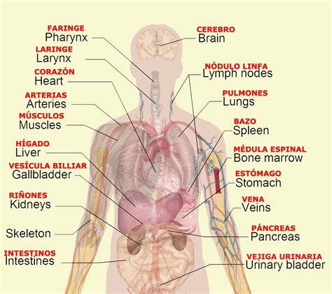 diagram of organs diagrams of organs printable diagram site