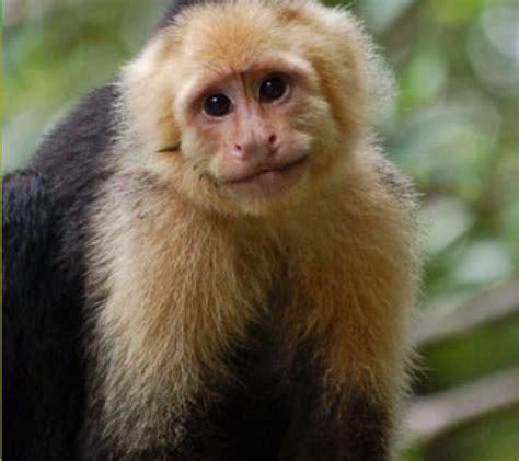 capuchin monkey homepage 187 monkey 187 capuchin monkey 187 capuchin monkey wallpaper stuff the