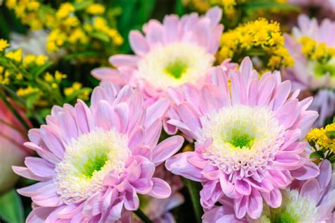 aster color aster flower meaning flower meaning