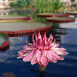How To Grow Lotus In A Tub How To Grow And Care For Water Lilies And Lotus