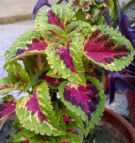 plants  fascinating ornamental foliage