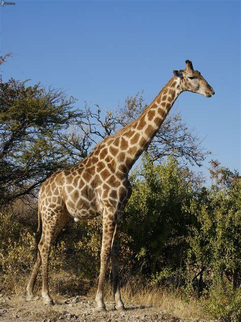 libro the giraffe that ate jirafa