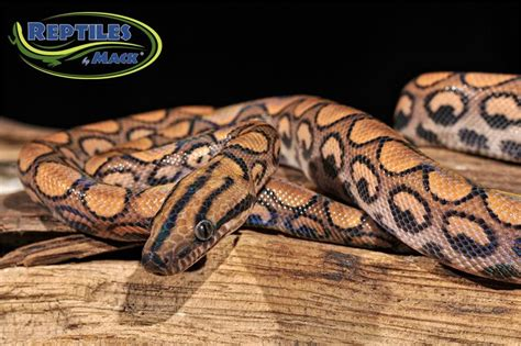 brazilian rainbow boa care sheet reptiles  mack