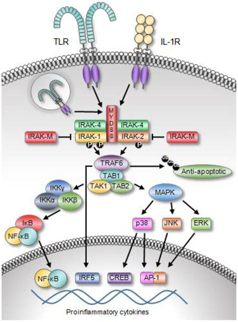 protein 4 1r frontiers il 1 receptor associated kinase signaling and