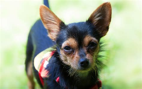 short haired dorkie mixes the chorkie a chihuahua yorkshire terrier mix breed puppy