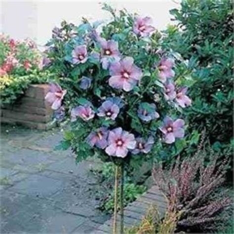 2 foot tree of tree hibiscus syriacus 1 to 2