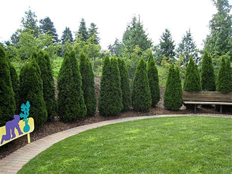 Landscaping Ideas Emerald Green Arborvitae Landscaping With Arborvitae Images