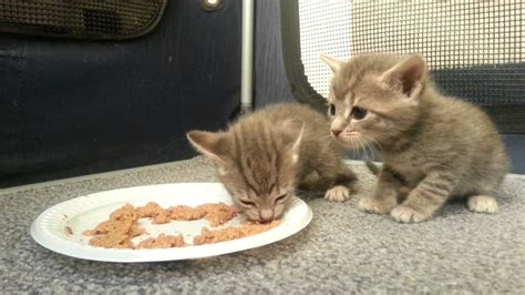 cat eating wallpaper 50 cute what do kittens eat kittens cute wallpapers