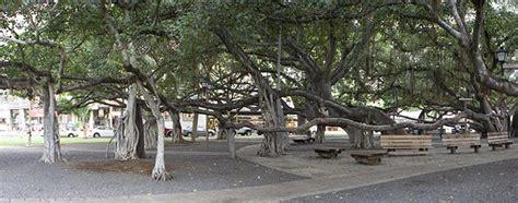 lighting of the banyan tree lahaina sightseeing lahaina banyan tree