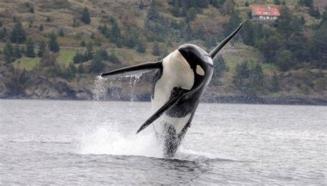 orca whale attacks fishing boat killer whales are hunting fishing boats like prey mnn