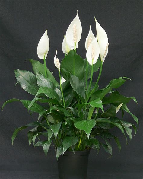 peace lily plants flowers 187 spathiphyllum wallisii domino