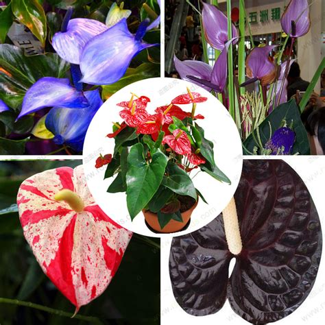 24kinds rare african anthurium seed anthurium andraeanu popular anthuriums flowers buy cheap anthuriums flowers