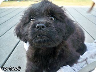 shih tzu and pitbull mix puppies shih tzu pitbull mix lab breeds picture