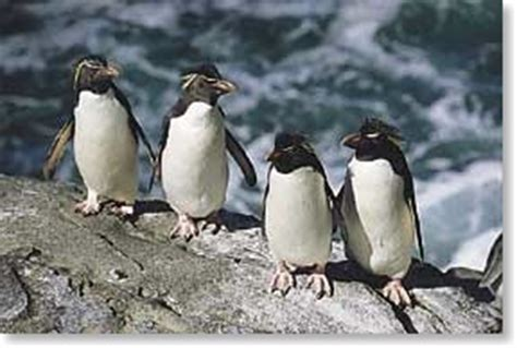 Rockhopper Penguin: Eudyptes chrysocome