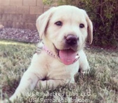 puppies for sale in arizona purebred akc labrador retriever lab puppies for sale in arizona az offer