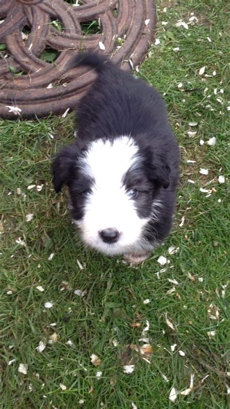 bearded collie puppies for sale bearded collie puppies for sale 2jpg breeds picture