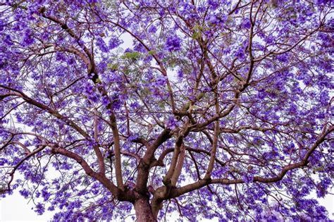 imagenes de flores jacaranda jacaranda fotos y vectores gratis