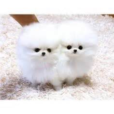 pomeranian puppies for sale in cedar rapids iowa teacup husky pomeranian pomeranian husky teacup grown mozambique charming and