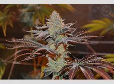 Malibu Pie (by Ocean Grown Seeds) :: SeedFinder :: Strain Info X 2 Review