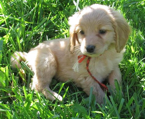 golden retriever puppies that stay small miniature golden retriever breeds picture