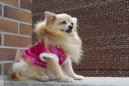 pomeranian breed history pomeranian breed information on pomeranians